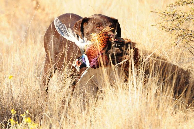 Adventure Animal Dog Grass Hunting Hunting Dog One Animal Pheasant