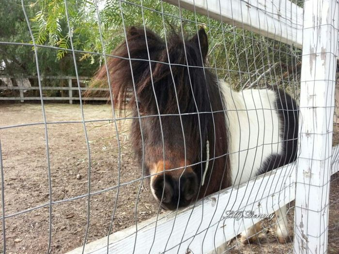 cute male mini horse Nature Enjoying Nature Enjoying Life Mini Horse Mini Ponies