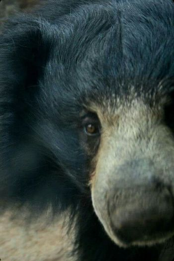 Sloth bears are pretty awesome One Animal Animal Themes Animal Body Part Close-up Mammal No People Animal Head  Watching Animal Eye Day Outdoors Nature Slothbear Animals Wildlife Wildlife Photography EyeEmNewHere Eyeemphotography Bear Baloo Eye