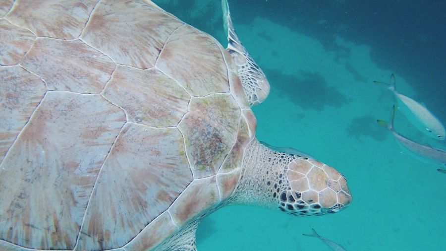 Water Turtle Sea Reptile Animals In The Wild Nature Sea Turtle Underwater Animal Wildlife Sea Life One Animal No People Animal Themes UnderSea Swimming Day Beauty In Nature Outdoors Close-up Tortoise Shell