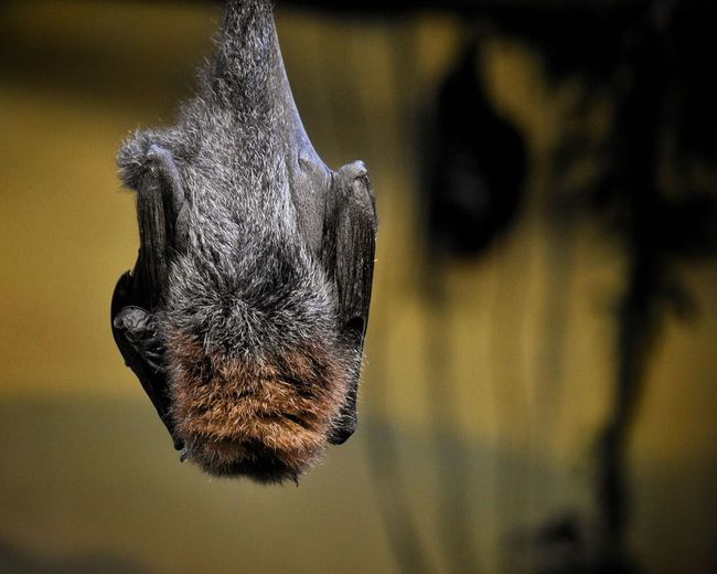 Mammal One Animal Focus On Foreground Animal Themes Domestic Animals Close-up No People Pets Feline Indoors  Nature Day Wings Upsidedown Upside Down Hanging Hanging Out Animal Wildlife Zoo Animals  Animal Photography Animal Animals Animal_collection Animals In Captivity Bat