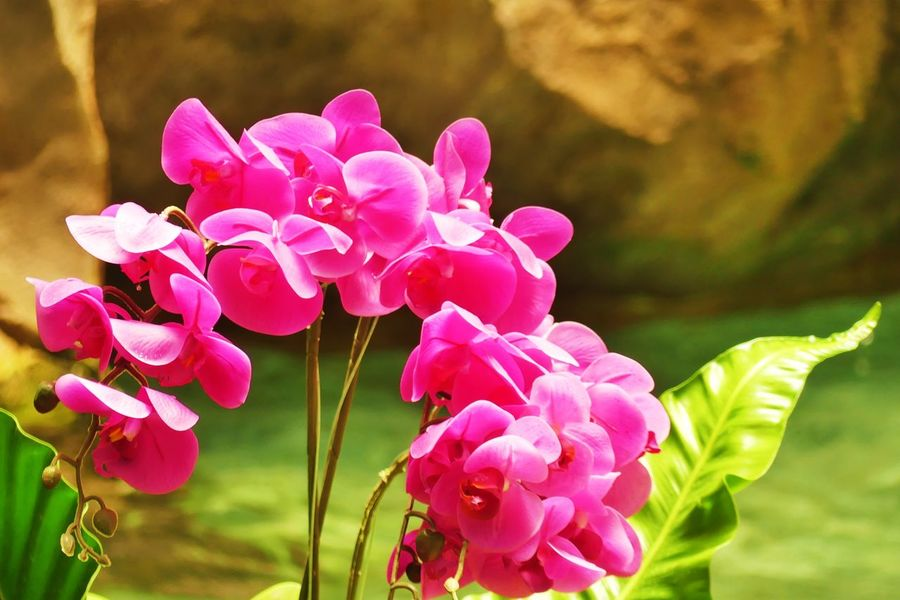 Pink Orchid Flowers Beauty In Nature Blooming Close-up Day Flower Flower Head Focus On Foreground Fragility Freshness Growth Nature No People Outdoors Petal Pink Color Pink Orchid Pink Orchid Flowers Pink Orchids Plant Waterfall กล้วยไม้ที่บ้าน ดอกกล้วยไม้ไทย ดอกไม้ ดอกไม้ (Flower) ดอกไม้สีม่วง