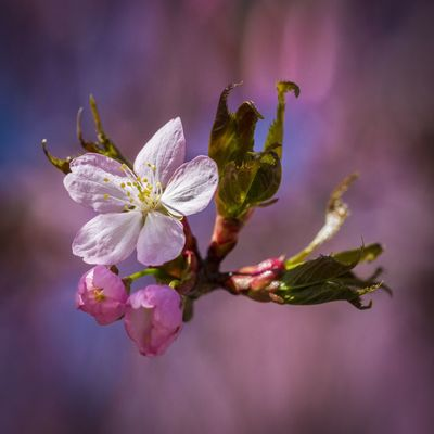 Flower Flowering Plant Beauty In Nature Plant Freshness Fragility Close-up Petal Vulnerability  Growth Pink Color Focus On Foreground Nature No People Bud Flower Head Inflorescence Pollen Springtime Tree Outdoors Purple Cherry Blossom Cherry Tree