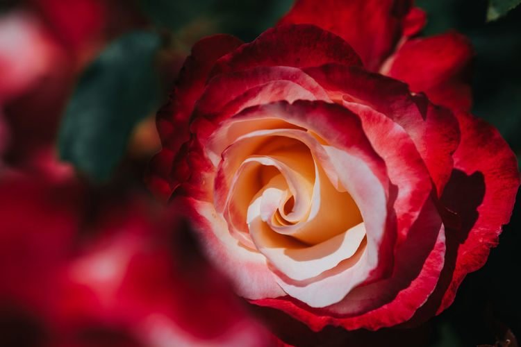 Flowering Plant Flower Rosé Beauty In Nature Plant Rose - Flower Vulnerability  Fragility Petal Close-up Inflorescence Flower Head Freshness Nature Growth No People Pink Color Red Outdoors Real People Red Red Color
