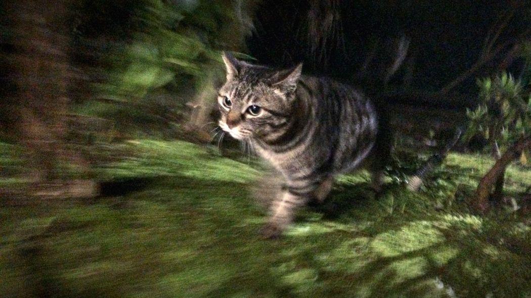 野良猫 Stray Cat 夜ねこ キジトラ 走り猫
