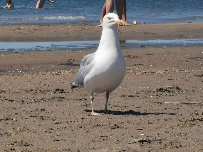 Seagull walking on sand at beach