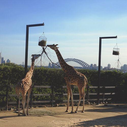Giraffes Standing On Field Against Blue Sky