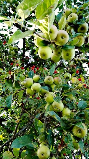 Check This Out Taking Photos Take A Walk Green Green Green!  Apple Tree Hugging A Tree Tree_collection  TreePorn Summertime The Places ı've Been Today Summer 2016 Holiday 2016 How Is The Weather Today? August2016 Showcase August Apple - Fruit An Apple Keep A Doctor Away.