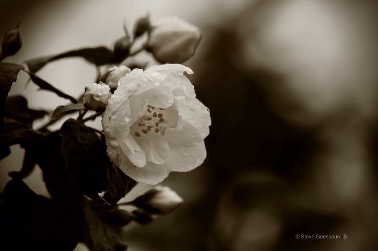 flower, petal, rose - flower, flower head, nature, growth, beauty in nature, fragility, close-up, no people, plant, freshness, day, blooming, outdoors