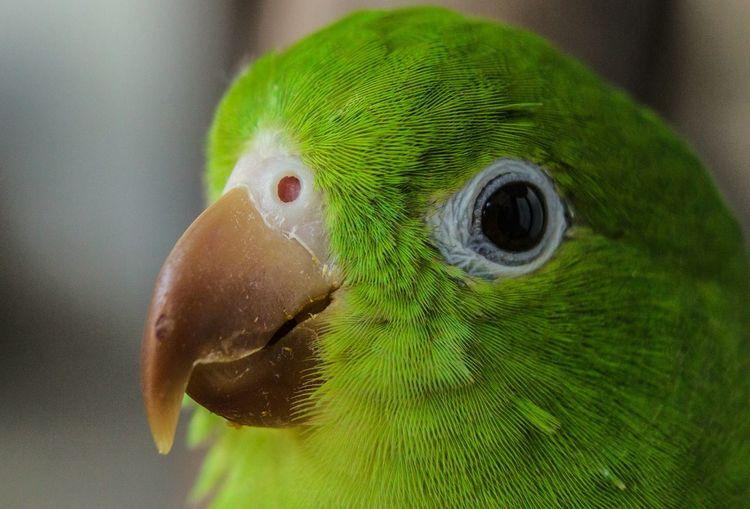 Little Parrot WeekOnEyeEm The Week on EyeEm Week On Eyeem Beak Feather  Close-up Green Color Parrot Animal Eye Eyeball Cockatoo Parakeet Beak Eyelash Iris - Eye Vision Tropical Bird