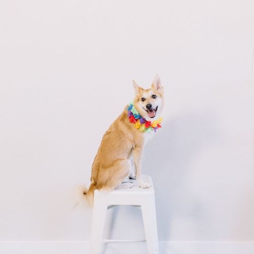 Cabana boy shiba at your services! Austin, TX Texas Austin Mahone  Meet And Greet Smiling Beach Dog Halloween Tropical Theme Pet Portraits Summer Summertime Dog Model Hawaiian Lei Tropical Dog Portrait Hawaiian Style Shiba Inu EyeEm Selects One Animal Pets Domestic Domestic Animals Dog Mammal Portrait Canine Lap Dog Cute Sitting Chihuahua - Dog