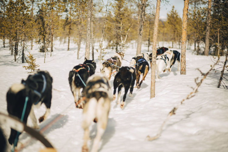 View of dogs running on snow covered land