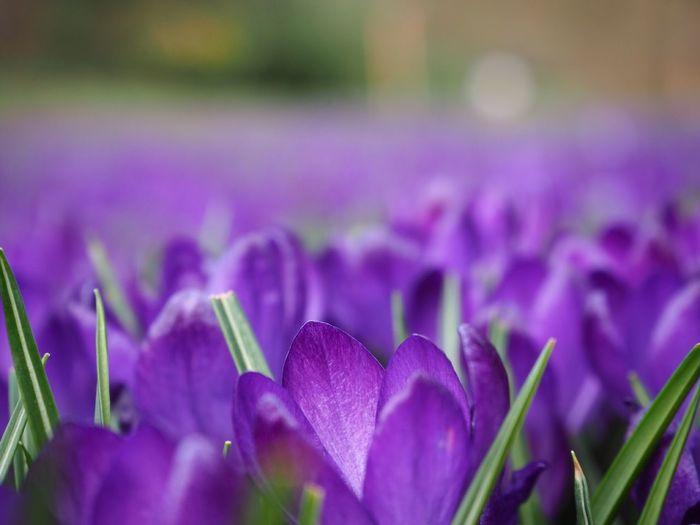 Krokus Purple Flower Beauty In Nature Petal Nature Growth Fragility Outdoors Flower Head Crocus