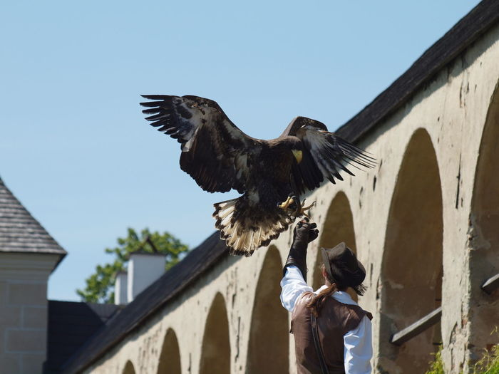 Eagle perching with spread wings on person hand by building against clear sky