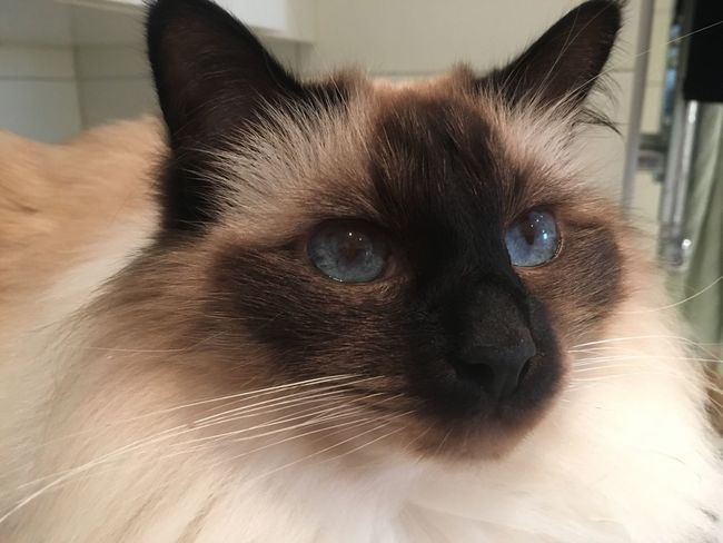 Pet Portraits Domestic Cat Animal Themes Pets Domestic Animals One Animal Indoors  Portrait Cat Looking At Camera Close-up Siamese Cat