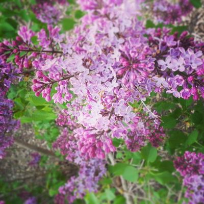 Blooming lilacs.