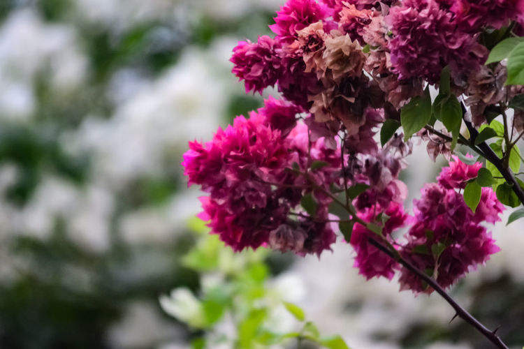 Flora Floral Summer Cluster Season  Shrub Growth Bouquet Botanical Closeup Bokeh Bokeh Photography Nikon EyeEm Selects Flower Head Flower Tree Springtime Branch Pink Color Blossom Close-up Plant Lilac Blooming Stamen In Bloom Cherry Tree Cherry Blossom Day Lily Petal The Still Life Photographer - 2018 EyeEm Awards