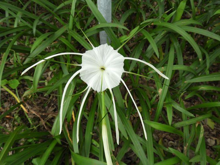 Spider Lily White Flower Ant & Flower