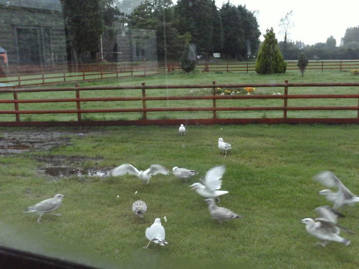The Birds ! Gullscream Seagulls In The Park