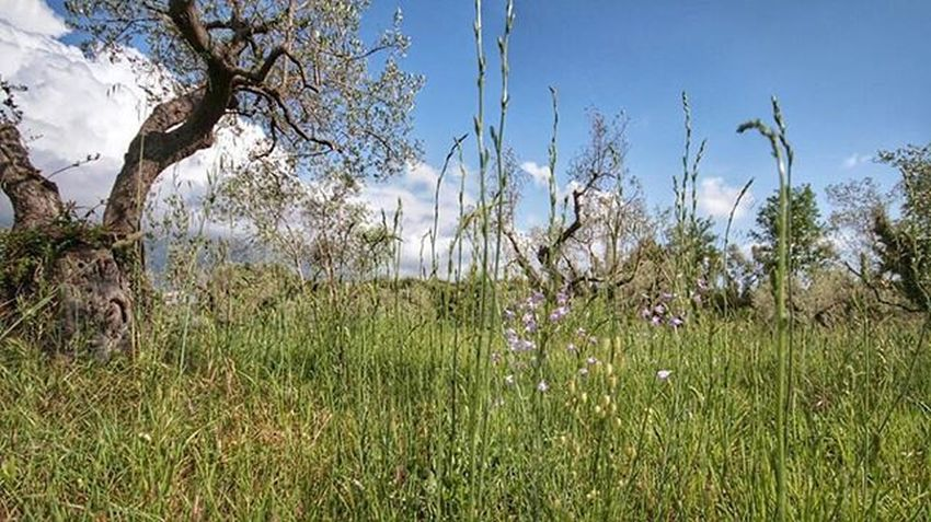 An old Olive grove near Cecina  // Landscape Italy Flowers Trees