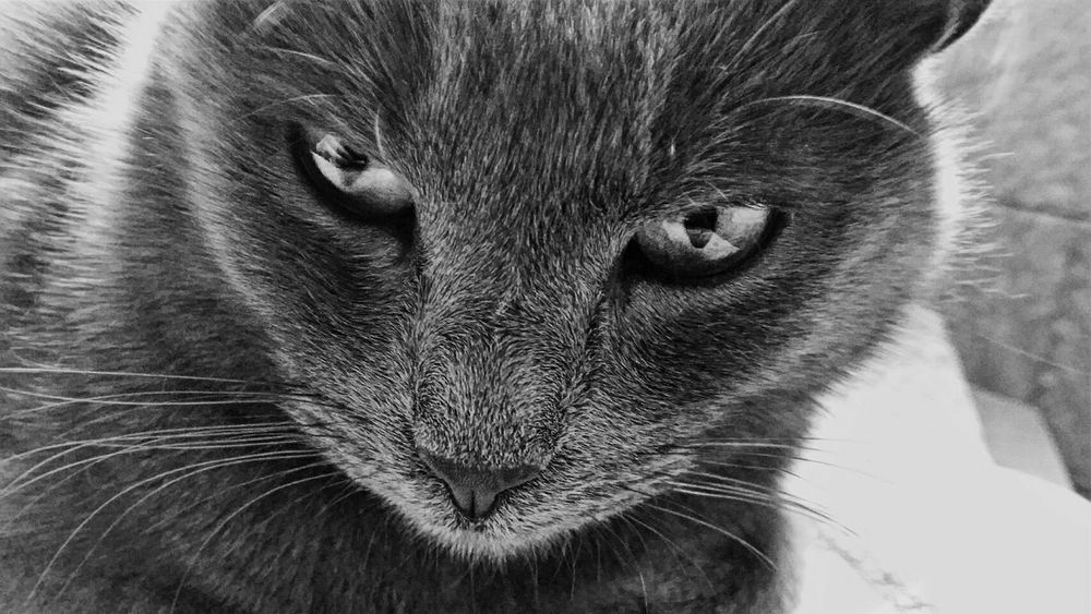 My cat's eyes are so much fiercer than mine... Somebody call vogue 👌 Greycats  Catlover Cat Fierce ! Fierce Kitty  Vogue Smize Smizewithyoureyes