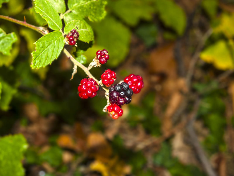 Rubus ulmifolius - Blackberries on the bush on autumn Beauty In Nature Berry Fruit Blackberry Bush Close-up Focus On Foreground Food Food And Drink Food And Drink Forest Freshness Fruit Fruits Growth Healthy Eating Leaf Nature Nature No People Outdoors Plant Red Red Fruits Rubus Ulmifolius Rubus