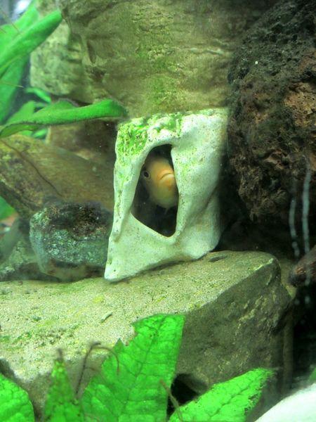 Fish Tank Fish Aquarium Hiding Out Peekaboo Hiding In Plain Sight Green Green Green!  Green Fishtank Seeking Shelter Aquatic Life