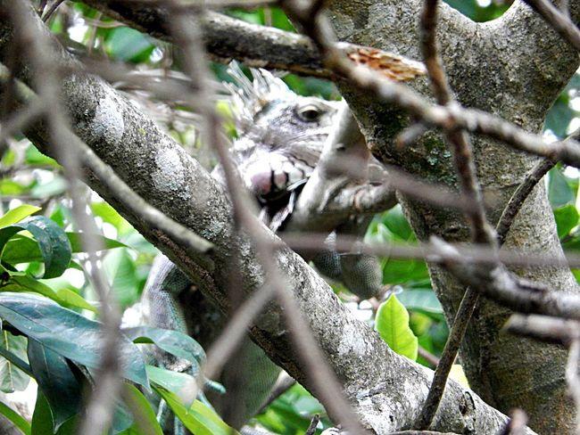 Amazonas Amazonas River Animals In The Wild Green Iguana Lizard Lizard Watching Lizards Reptile Tree Amazon Amazon Rainforest Animal Animal Themes Animal Wildlife Animals Camouflage Animals Environment Forest Forest Photography Iguana Photo Iguanas Reptile Photography Reptiles Staring