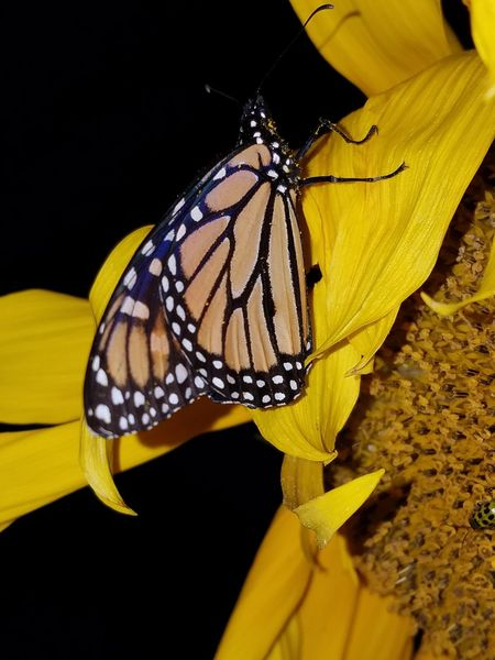 Insect Close-up Nature Butterfly - Insect Outdoors Animal Markings Beauty In Nature Sunflowers🌻 Nighttime Photography Natural Pattern Butterfly ❤ Multi Colored Beauty In Nature Black Background Pollen Tranquility Flower Head