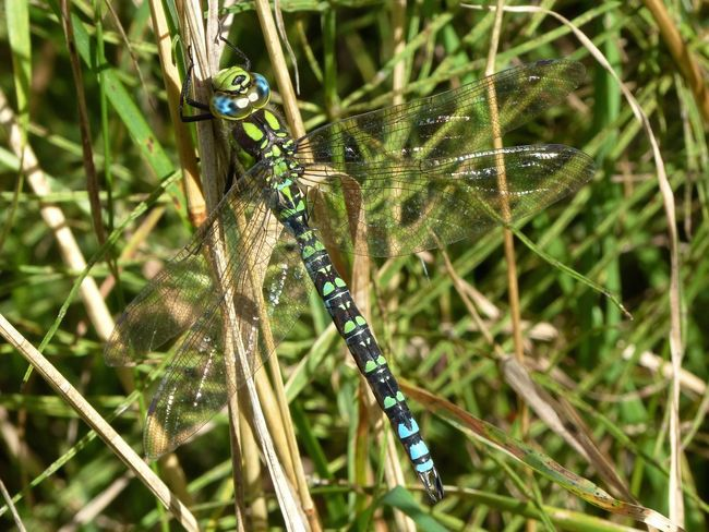 southern hawker dragonfly. Animal Themes Animals In The Wild One Animal Wildlife Close-up Focus On Foreground Selective Focus Flight Beauty In Nature Spread Wings Insect Dragonfly No People No Filter, No Edit, Just Photography