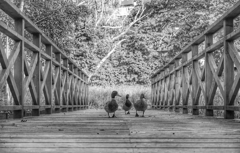 https://youtu.be/mxzgwJ8tSE0 Mallard Duck Mallard Duck 2019 Niklas Storm Juni Bridge - Man Made Structure Architecture Built Structure Footbridge Bridge My Best Photo The Street Photographer - 2019 EyeEm Awards