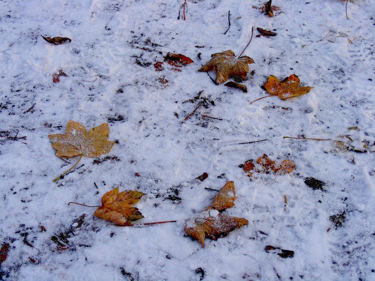 Missing Thin Snow, Broken Circle Chance Find Close-up Cold Crisp Day Come Back Home Daybreak, Gold Leaf Leaf Leaf Circle Light Snow Missing Element Missing One  Missing Piece Natural Patterns Patterns In Nature Red Leaf Scuffed Tracks Searching Season  Snow Waiting For The Missing Where Is It? Winter Winter Leaves