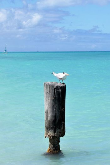 Seagull on a Pole in the Caribbean Seagull On A Pole In The Caribbean Animal Themes Animal Wildlife Animals In The Wild Beauty In Nature Bird Cloud - Sky Day Horizon Over Water Nature No People One Animal Outdoors Pelican Perching Scenics Sea Seagull Seagulls And Sea Sky Turquoise Water Color Water An Eye For Travel