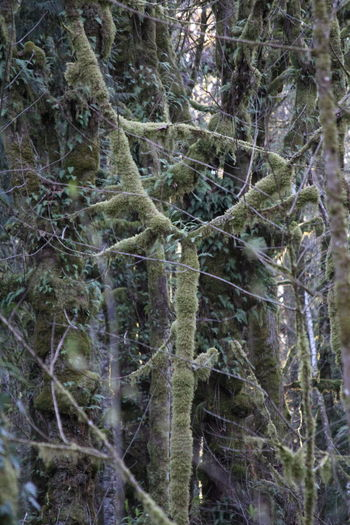 Moss & Lichen Pacific Northwest  Pacific Northwest Beauty Beauty In Nature Branch Close-up Day Forest Growth Moss Nature No People Outdoors Tree