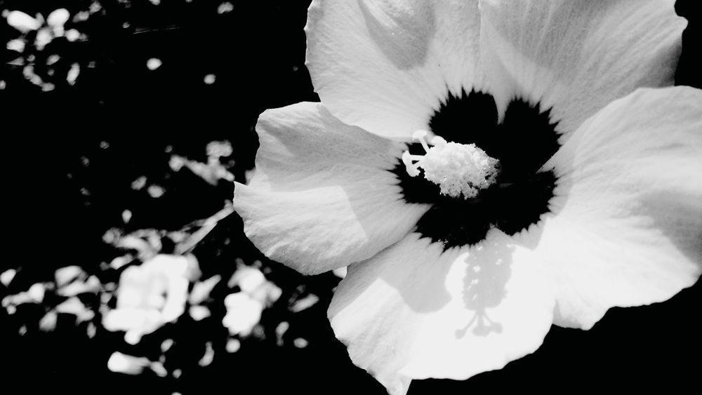 Flower Fragility Flower Head Plant Close-up Petal Nature Growth Beauty In Nature Pollen Freshness Day No People Outdoors Copy Space Still Life Photography Pattern, Texture, Shape And Form Black And White Nature Check This Out Fine Art Photography StillLifePhotography Hibiscus Pistole EyeEm Nature Lover
