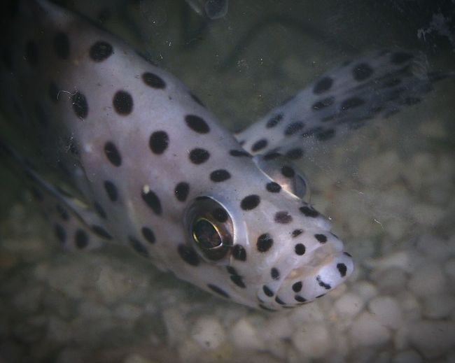 Spotty Fish Leoapard Grouper Ocean Fish Marine Fish Aquarium