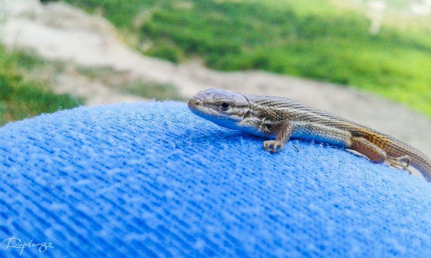 Aragón Lagartija Al Sol Lagartija Lizard Lagartija Bebe Baby Lizard Naturaleza Natural