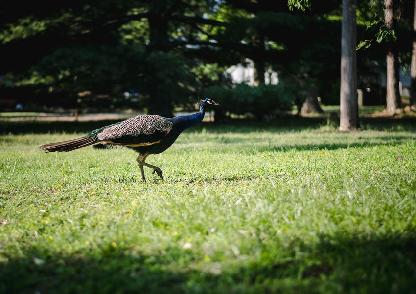 Peacock Animal Animal Themes Animal Wildlife Animals In The Wild Bird Day Field Grass Green Color Land Nature No People One Animal Outdoors Plant Selective Focus Side View Tree Vertebrate Walking