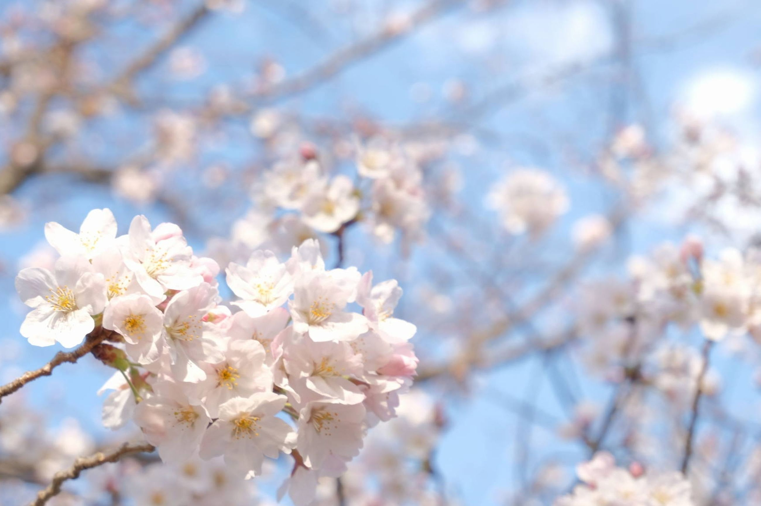 flower, flowering plant, plant, freshness, fragility, beauty in nature, blossom, growth, springtime, tree, vulnerability, branch, cherry blossom, nature, low angle view, day, close-up, no people, white color, petal, cherry tree, flower head, outdoors, spring