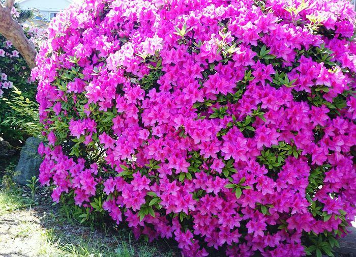 Azalea Nature Plants