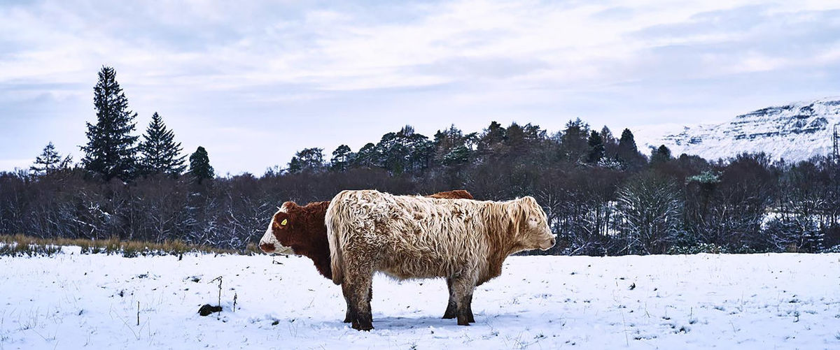 Animal Themes Beauty In Nature Cloud - Sky Cold Temperature Cows Day Domestic Animals Field Highland Cattle Landscape Livestock Mammal Nature No People One Animal Outdoors Scenics Sky Snow Tranquility Tree Weather Winter