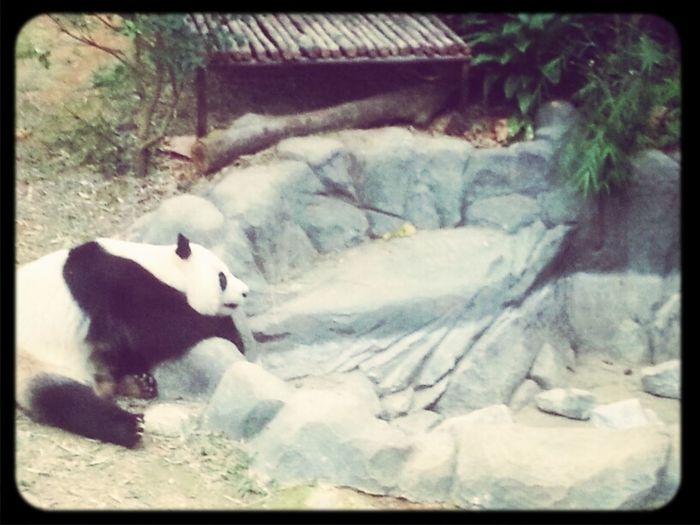 whats for dinner? Blackandwhite Panda Kai Kai Bestofsg