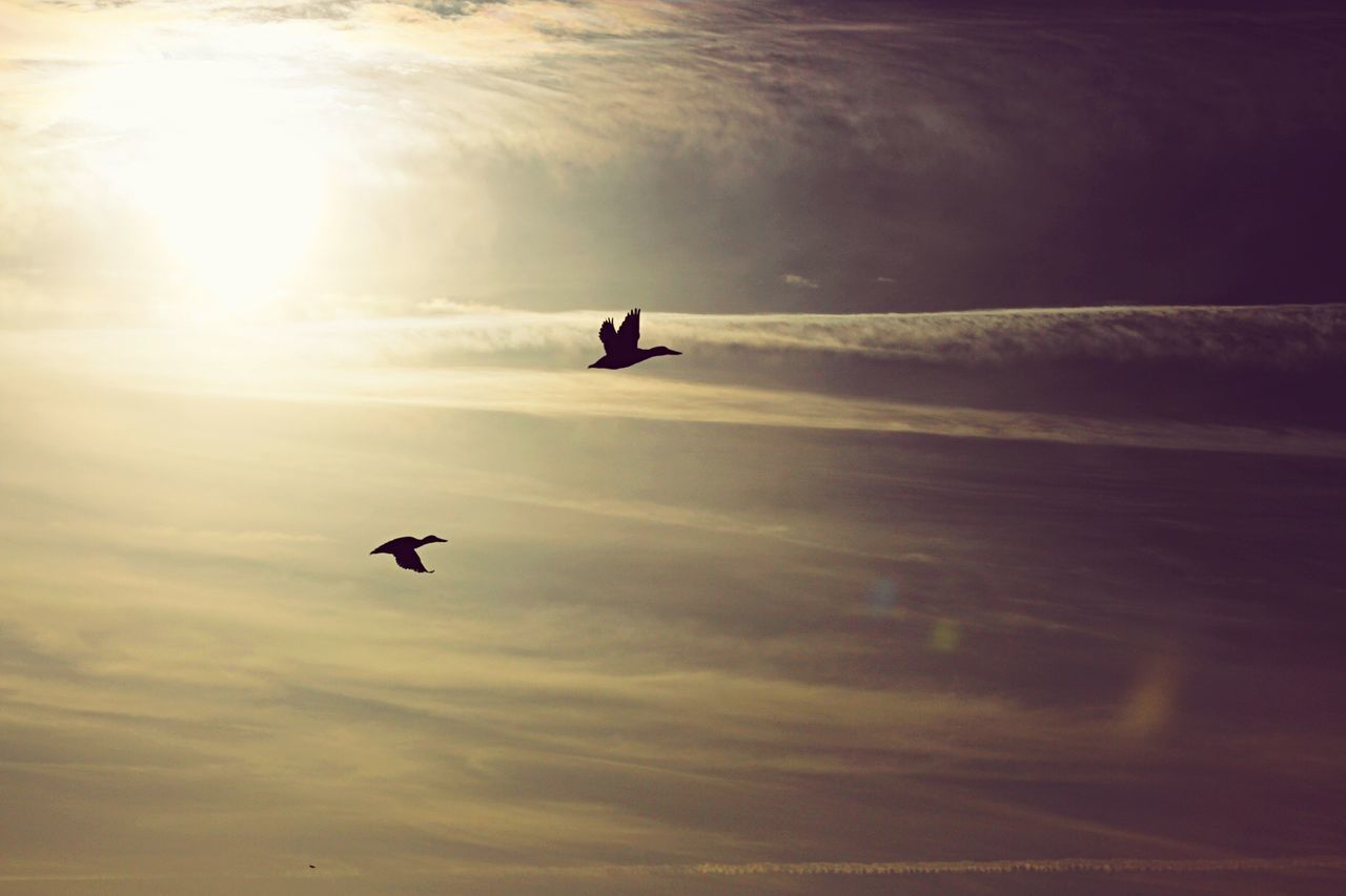 flying, sunset, bird, sky, animal themes, mid-air, nature, cloud - sky, animals in the wild, silhouette, outdoors, beauty in nature, low angle view, sun, scenics, one animal, animal wildlife, no people, spread wings, sunlight, day