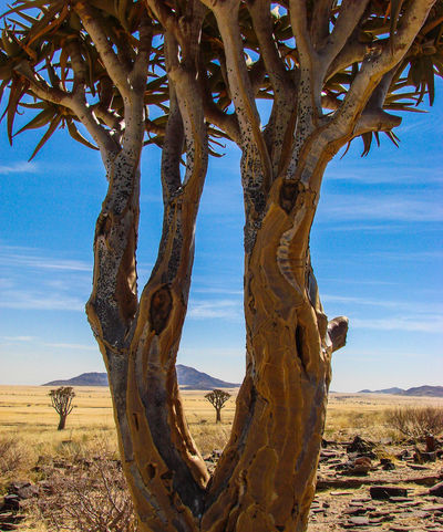 Quivertree  Tree Veld Scenics Landscape Tranquility Beauty In Nature Arid Climate Remote Namibia Dry Arid Landscape Tranquil Scene Nature EyeEm X Whitewall:Landscape The Great Outdoors - 2016 EyeEm Awards The Great Outdoors With Adobe