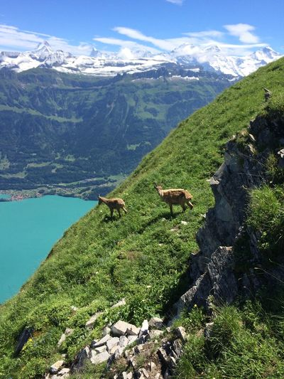 Mountain goats at mountain against sky