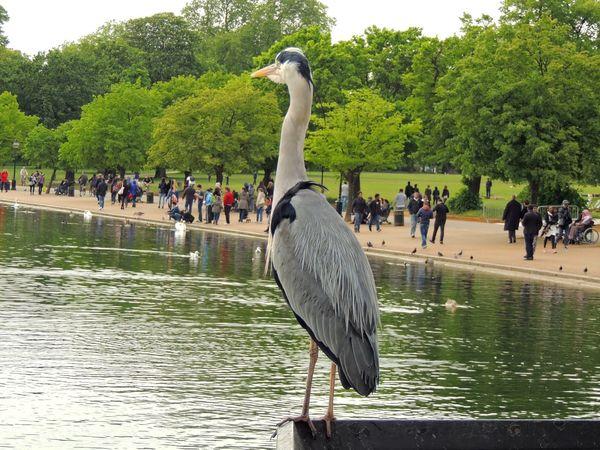 EyeEm LOST IN London Hyde Park London Walking Around Nature Bird Day Hyde Park Lake Large Group Of People Tree Water