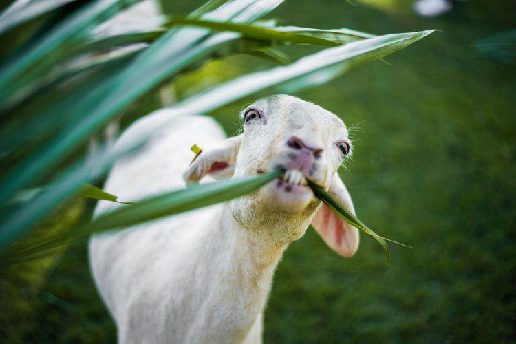 goat cute eating Goat Animal Animal Body Part Animal Head  Animal Themes Animal Wildlife Animals In The Wild Close-up Cute Day Domestic Animals Eating Eyes Focus On Foreground Funny Faces Green Color Herbivorous Mammal Mouth Open Nature No People One Animal Outdoors Plant Vertebrate
