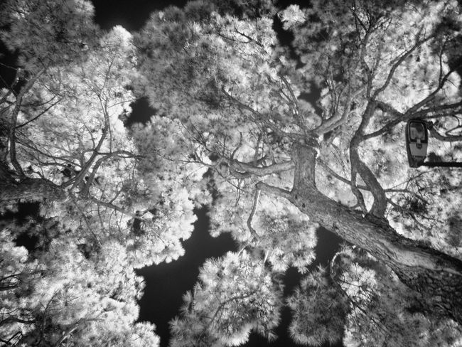 Infrared shot with Olympus OM-D E-M10, Rokinon 12mm, R72 infrared filter, ISO 400, f/2, 1/2.5s, no tripod Beauty In Nature Black And White Bnw Bnw_collection Branch Close-up Day Growth Infrared Infrared Photography Low Angle View Nature No People Outdoors R72 Sky Tranquility Tree