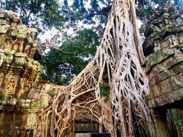 How nature claiming it back Tree Outdoors Architecture Nature Tree Trunk Growth Travel Cambodia Cambodia Temple TaProhm Temple Landscape_photography Beauty In Nature Landscape Photography Takenbyme Lost In The Landscape