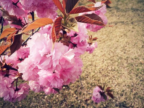 Flower , 겹벚꽃